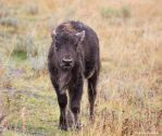Bison lll by deseonocturno