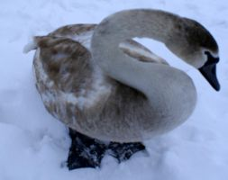 S for swan by karliosi