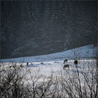 Horses on the snow by NikolaiMalykh