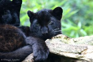 Black Leopard Cub I by MorganeS-Photographe
