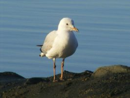 Blue Water Gull by Dontheunsane