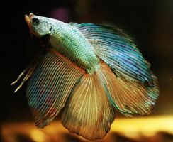 Dragon DT Betta male by HappyBettas