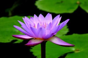 Water Lily by Laeti-Lan