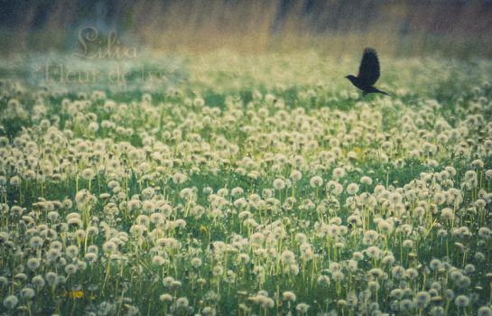 Dandelions and black bird by LiliaLaurent