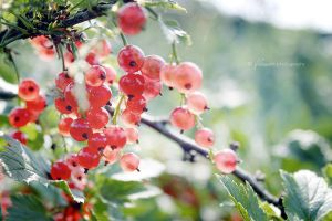 redcurrant by Flower1991