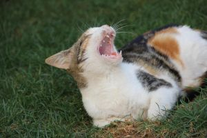 Cat Yawn 1 by Chocomix-Stock