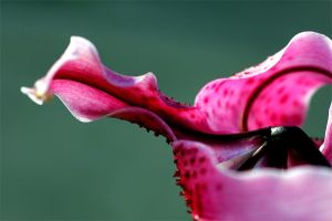 Contorted Lily by TruemarkPhotography