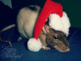 Ratty christmas by Kaikoura