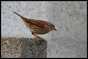 dunnock4 by 21711