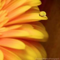 Orange gerbera with drop by FrancescaDelfino