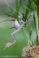 Climbing froglet by AngiWallace