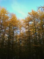 larches 1 by Blue-eyed-Kelpie