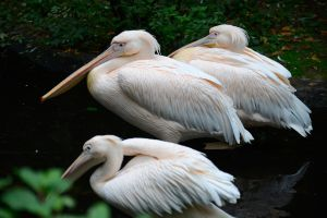 Pink pelicans by NB-Photo