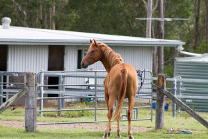 Dn WB chestnut standing looking over shoulder view by Chunga-Stock