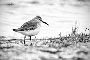 Dunlin by Jay-Co