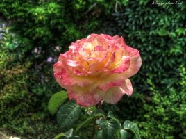 A Rose... by digitalminded