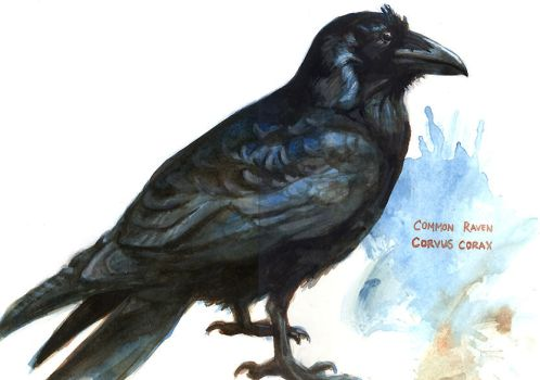 Common Raven by d4rk1n