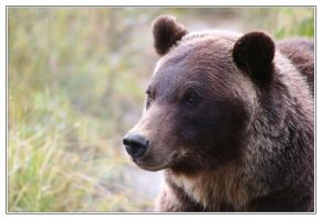 Brown Bear by m11874659
