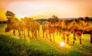 HDR Cows by Squadz2000