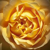 Yellow Rose Core by Grovelight