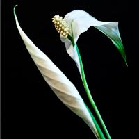 Peace lilly in color by CharmingPhotography