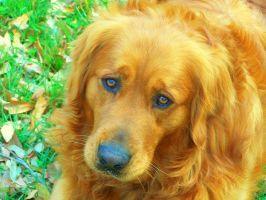 My Golden Retriever Chance by RavenAngelWolf