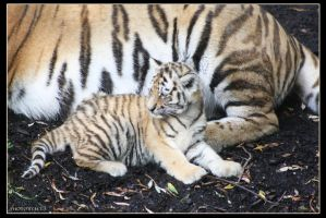 Amur Tigers 7 by Globaludodesign
