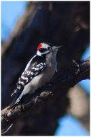 Downy Woodpecker iii by SuicideBySafetyPin