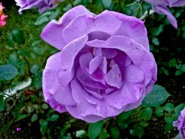 Purple rose by obreshko