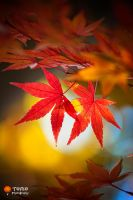 Autumn Maple by WindyLife