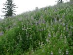 Lupine Hillside by Track-Maidens