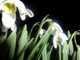 Snowdrops by fadingechoes101