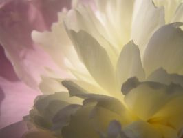 peony by dandelion47