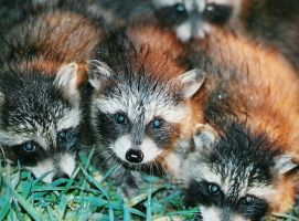 baby raccoons by mythiclionheart