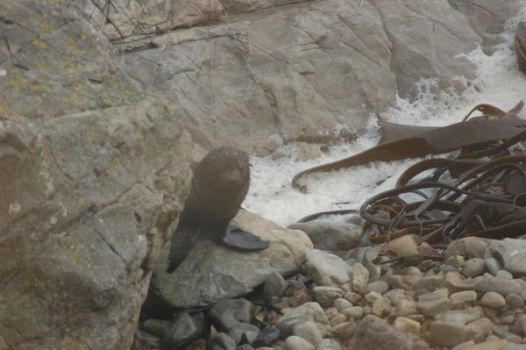 Baby Fur Seal by EmberGryphon