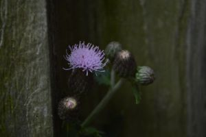 Tiny little thistle by TomKilbane