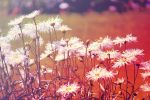 Daisies by IndigoSnake