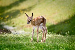 Fawn by hockenberry