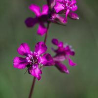 Lychnis viscaria by perost