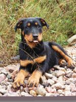 Murdock the Rottie Pup by MiDulceLocura