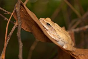 Four-lined Tree Frog by melvynyeo