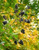 Black Berries by GunterSchobel