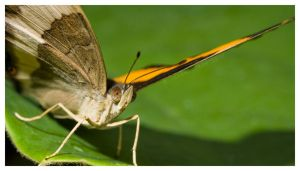 Panoramic Butterfly by theperfectjez