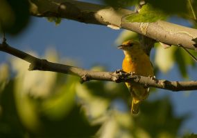 Female Baltimore Oriole July - 2014 - 7 - 2 by toshema