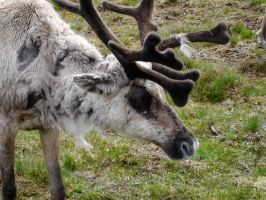 Shedding Reindeer by johnfsfreeman