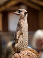 Compare the Meerkat by ChessW24