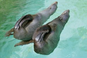 South African Fur Seals by Nesihonsu