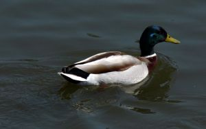 Waterfowl Study 26 by RoyalScanners