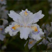 Iris japonica01 by osam-devet
