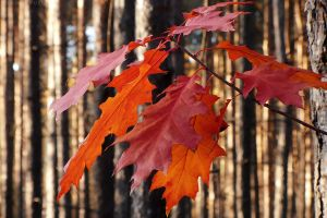 Autumn with red oak I by rosaarvensis